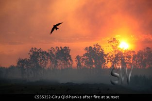 CSSS252-Giru-Qld-hawks-after-fire-at-sunset