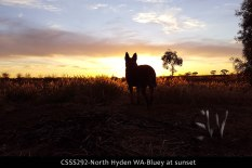 CSSS292-north-hyden-wa-bluey-at-sunset
