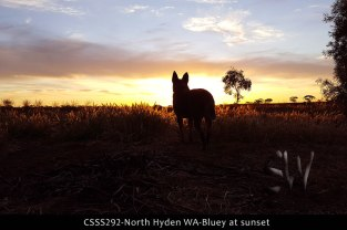 CSSS292-north-hyden-wa-bluey-at-sunset