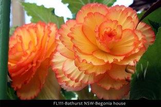 FL111-Bathurst-NSW-Begonias