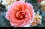 FL112-Renmark-SA-Rustons-Roses