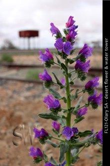 FL121-Olary-SA-desert-flower