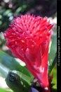 FL122-Wauchope-NSW-bromiliad