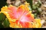 FL131-Yungaburra-Qld-Hibiscus