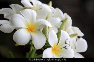 FL135-Seaforth-Qld-Frangipanis
