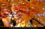 FL138-Katoomba-Blue-Mtns-NSW-Autumn-colours