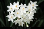 FL140-Pebbly-Beach-NSW-jonquils
