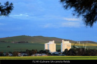FL141-Gulnare-SA-canola-fields