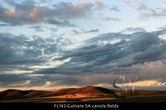 FL142-Gulnare-SA-canola-fields