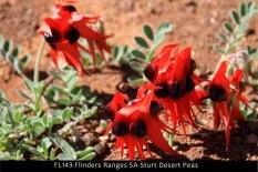 FL143-Flinders-Ranges-SA-Sturt-Desert-Peas