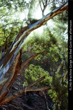 FL146-Brachina-Gorge-SA-Red-Gum-late-afternoon