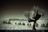 FL147-Central-Flinders-Ranges-SA-grasstree-with-Wilpena-ranges