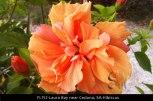 FL152-Laura-Bay-near-Ceduna-SA-Hibiscus