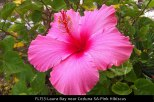 FL153-Laura-Bay-near-Ceduna-SA-Pink-Hibiscus