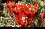 FL156-Sturt-Desert-Peas,-Dampier-WA