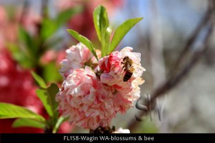 FL158-Wagin-WA-blossums-&-bee
