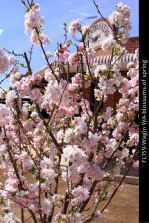 FL159-Wagin-WA-blossums-of-spring
