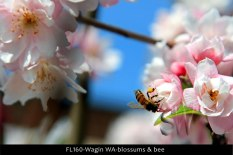 FL160-Wagin-WA-blossums-&-bee