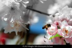 FL161-Wagin-WA-blossums-&-bee