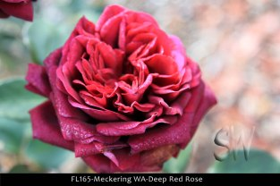 fl165-meckering-wa-deep-red-rose