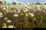 fl167-yalgoo-wa-everlastings