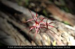 fl169-ellendale-pool-near-geraldton-wa-ruby-red-spider-orchid