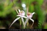 fl170-ellendale-pool-near-geraldton-wa-spider-orchid