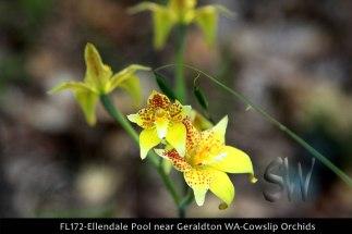 fl172-ellendale-pool-near-geraldton-wa-cowslip-orchids
