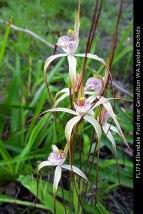 fl173-ellendale-pool-near-geraldton-wa-spider-orchids