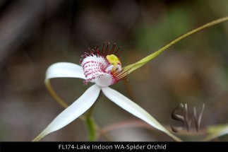 fl174-lake-indoon-wa-spider-orchid