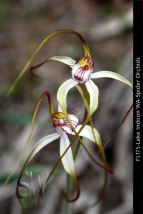 fl175-lake-indoon-wa-spider-orchid