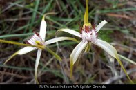 fl176-lake-indoon-wa-spider-orchids