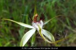 fl182-lake-indoon-wa-spider-orchid