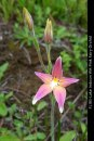 fl185-lake-indoon-wa-pink-fairy-orchid