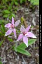 fl186-lake-indoon-wa-pink-fairy-orchids