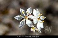 fl187-eneabba-wa-phebalium