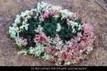 fl190-latham-wa-wreath-leschenaultia