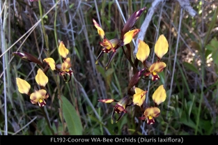 fl192-coorow-wa-bee-orchids-diuris-laxiflora
