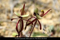 fl193-coorow-wa-jack-in-the-box-orchids