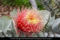 fl194-calingiri-wa-mottlecah-eucalyptus-macrocarpa