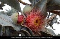 fl195-calingiri-wa-mottlecah-eucalyptus-macrocarpa