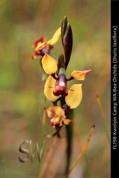fl198-kwolyin-camp-wa-bee-orchid-diuris-laxiflora
