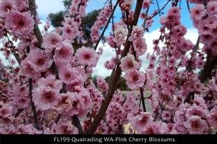 fl199-quairading-wa-pink-cherry-blossums