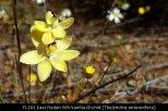 fl202-east-hyden-wa-vanilla-orchid-thelymitra-antennifera