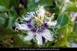 fl204-mt-barker-wa-passionfruit-flower