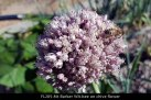 fl205-mt-barker-wa-bee-on-chive-flower