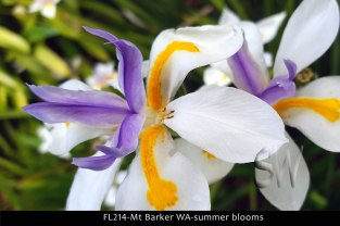 fl214-mt-barker-wa-summer-blooms
