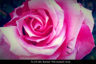 fl215-mt-barker-wa-bokeh-rose