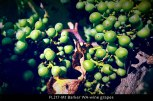 fl217-mt-barker-wa-wine-grapes