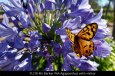 fl218-mt-barker-wa-agapanthus-with-visitor